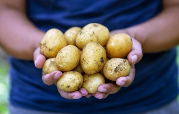 Fresh potatoes consumption in Belgium up by 8 %